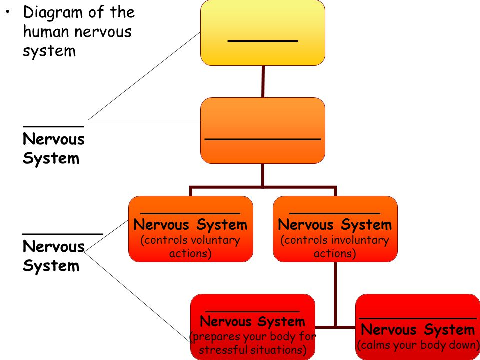 Diagram of the human nervous system