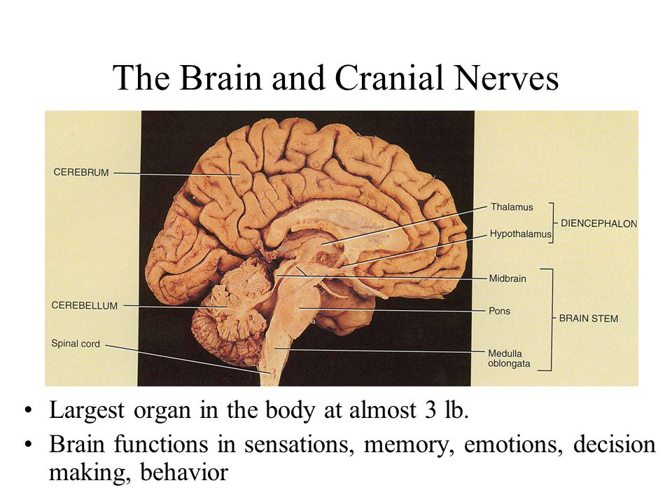 the brain and cranial nerves - ppt download, Human Body