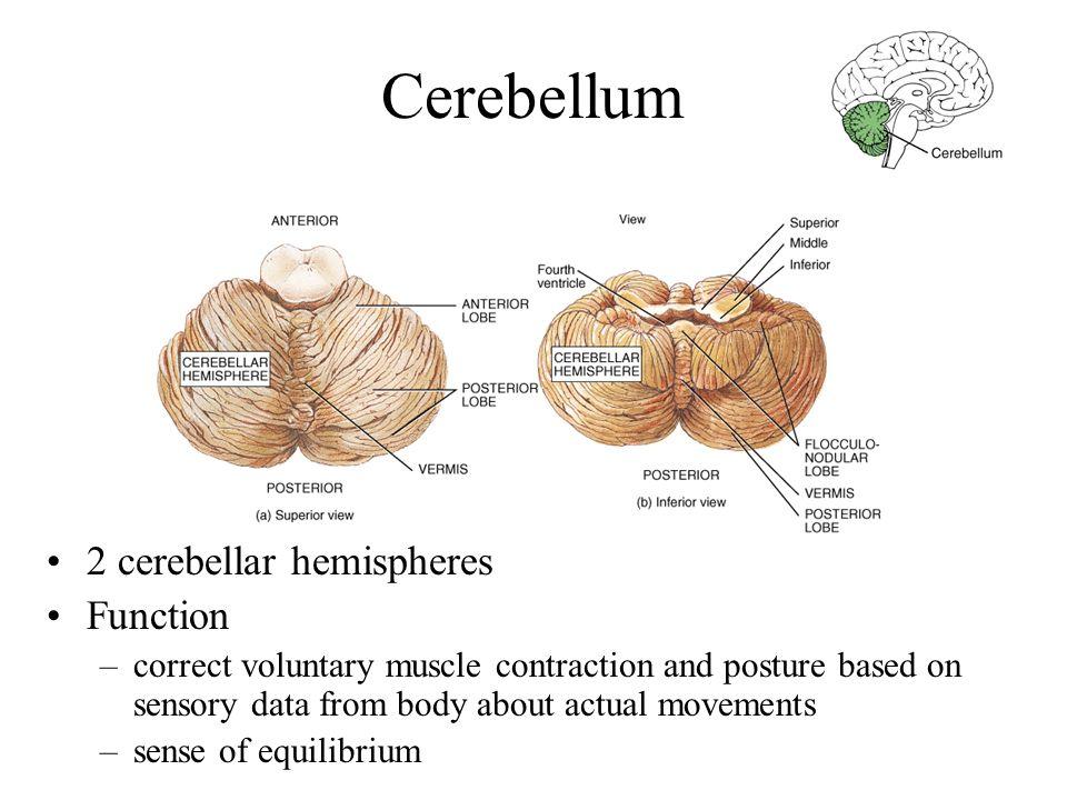Cerebellum 2 cerebellar hemispheres Function