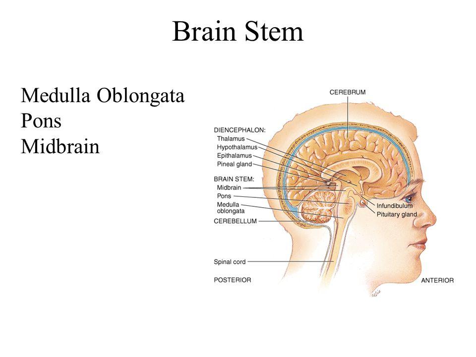 Brain Stem Medulla Oblongata Pons Midbrain