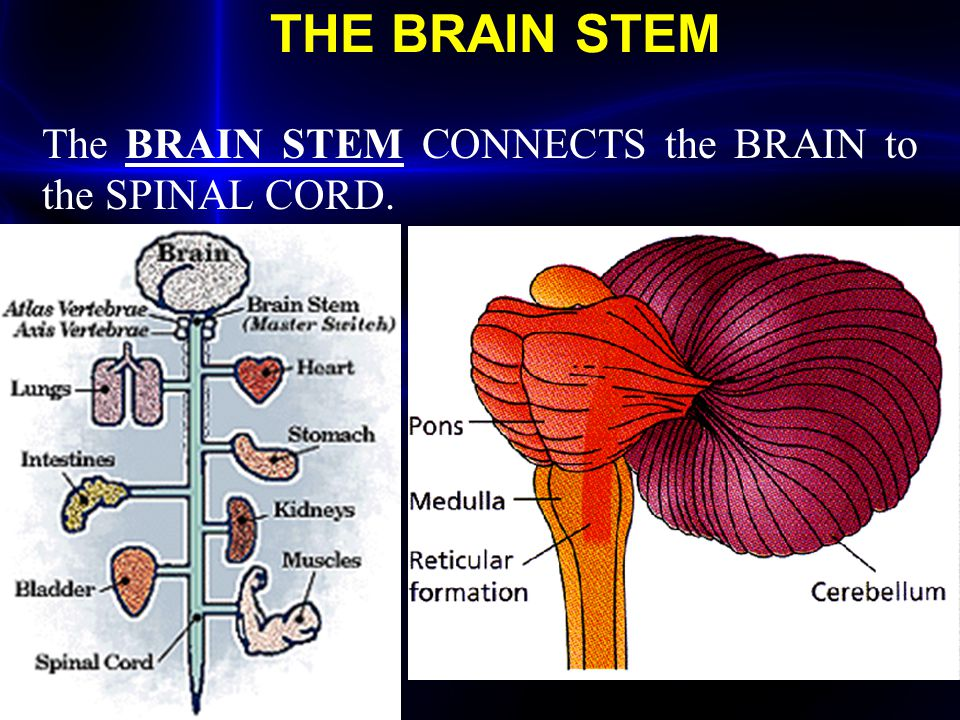 The BRAIN STEM CONNECTS the BRAIN to the SPINAL CORD.