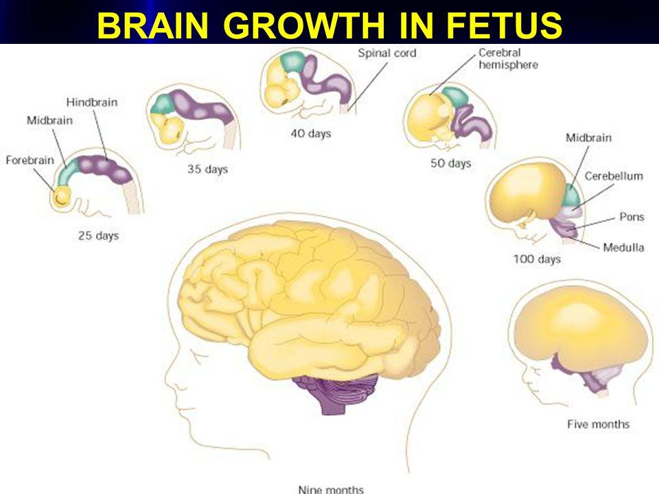 BRAIN GROWTH IN FETUS