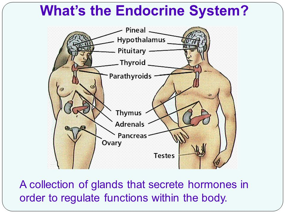 What's the Endocrine System