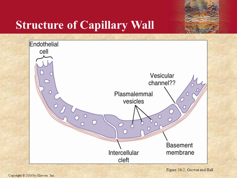 Structure of Capillary Wall
