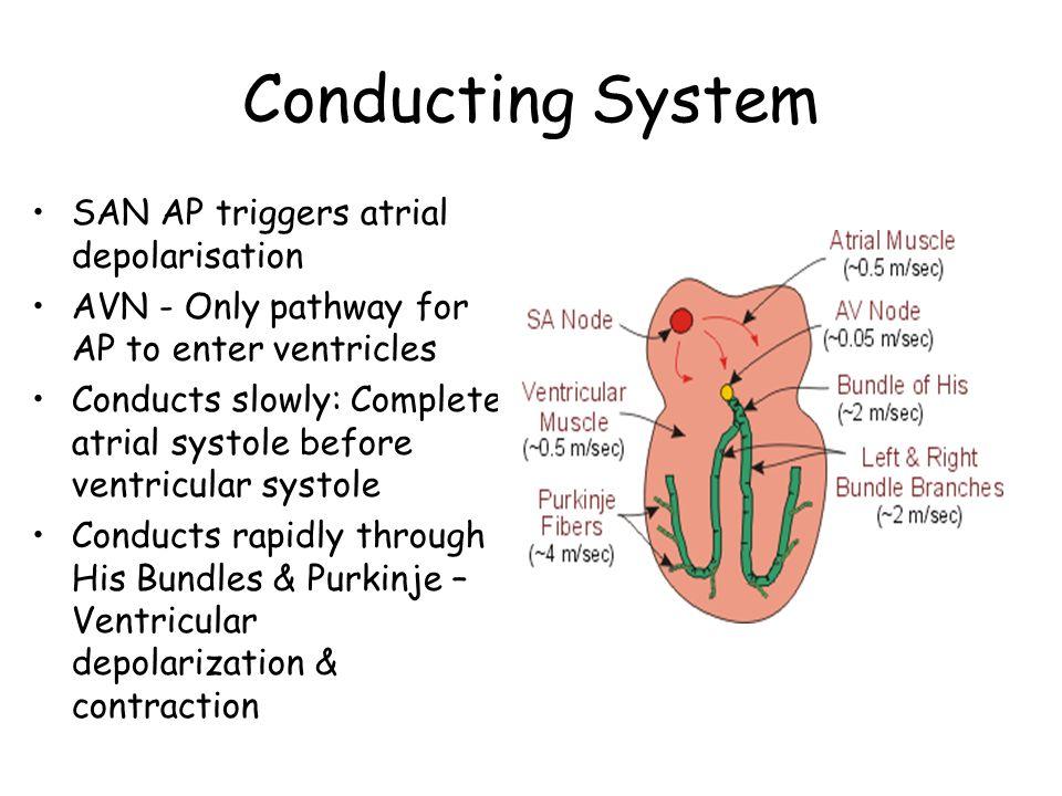 Conducting System SAN AP triggers atrial depolarisation