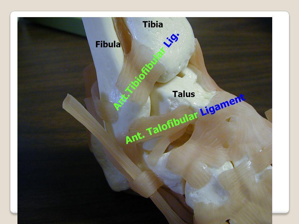 Ant. Talofibular Ligament