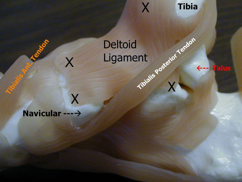 X X X X Deltoid Ligament Tibia Navicular --- Tibialis Ant. Tendon