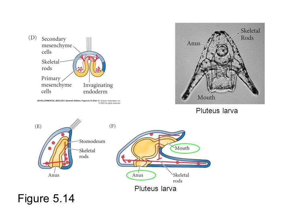 Pluteus larva Pluteus larva Figure 5.14