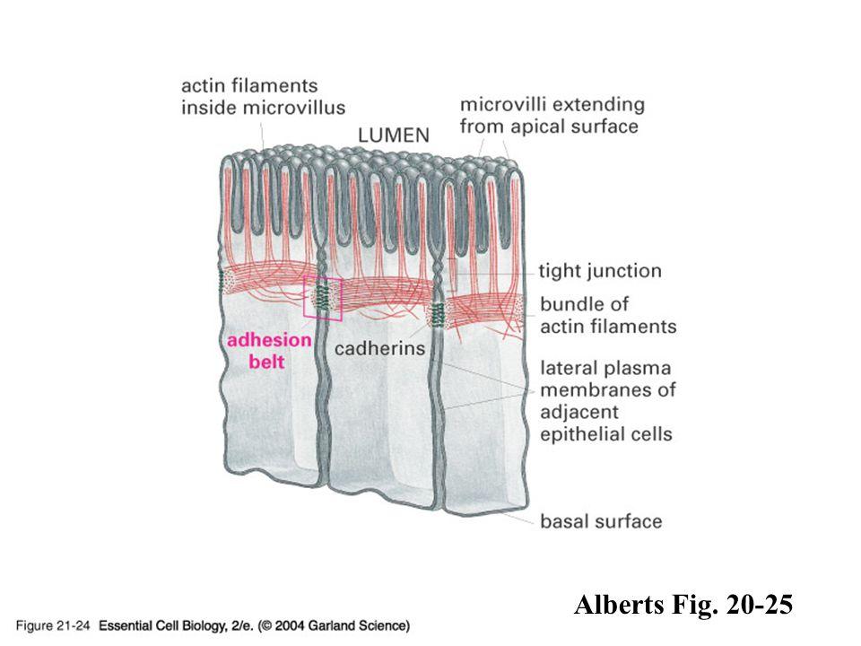 21_24_Adherens_junct.jpg 21_24_Adherens_junct.jpg Alberts Fig. 20-25