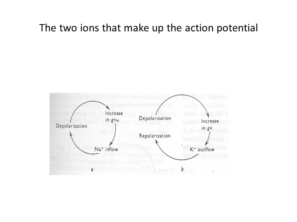 The two ions that make up the action potential