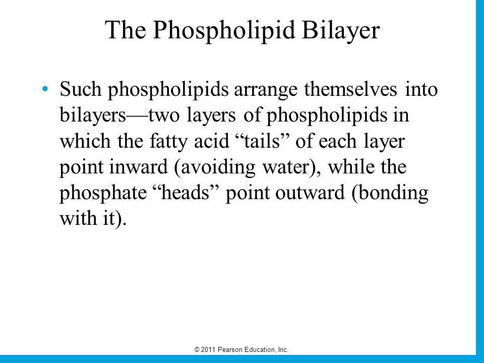 The Phospholipid Bilayer
