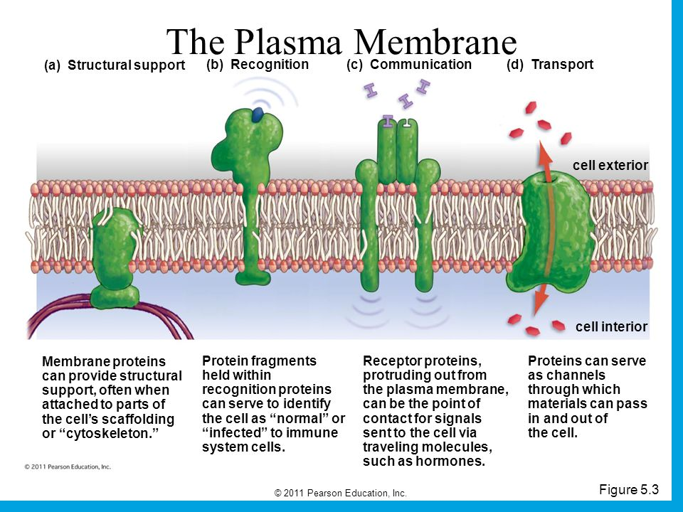 The Plasma Membrane (a) Structural support (b) Recognition