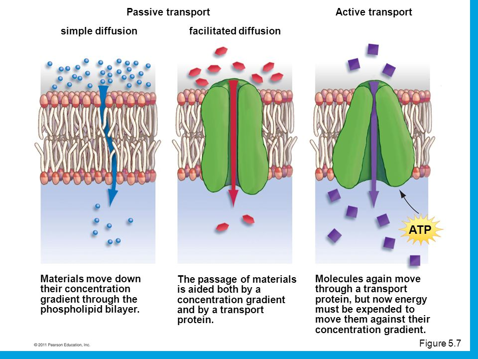 ATP Passive transport Active transport simple diffusion