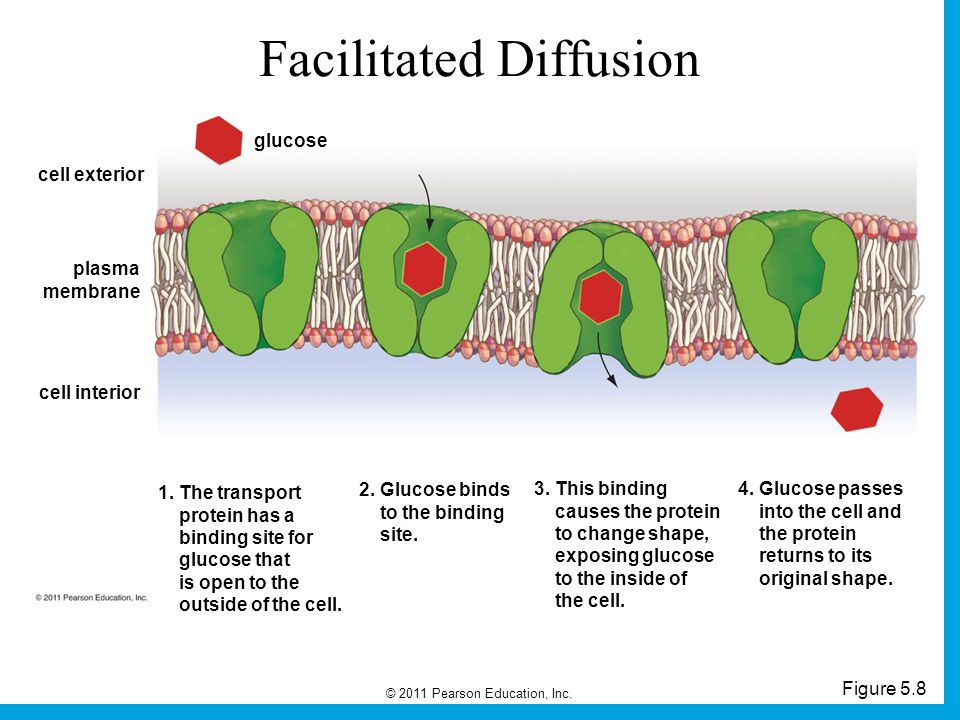 diffusion and glucose Diffusion: the act of absorption of the majority of nutrients takes place in the sodium bicarbonate is absorbed by active transport and glucose and amino acid.