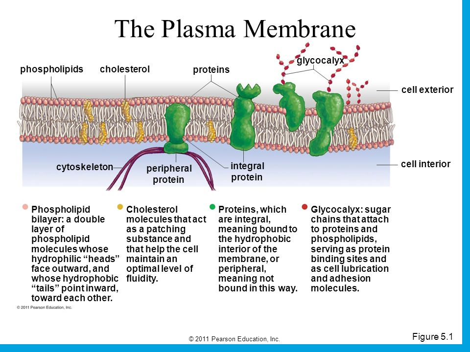 The Plasma Membrane glycocalyx phospholipids cholesterol proteins