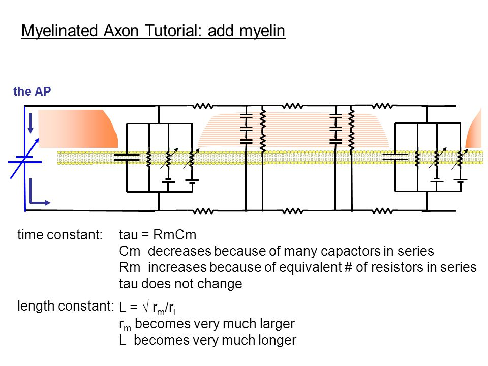 Myelinated Axon Tutorial: add myelin