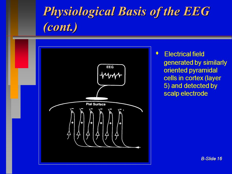 Physiological Basis of the EEG (cont.)