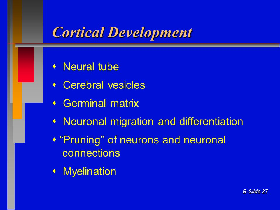 Cortical Development  Neural tube  Cerebral vesicles