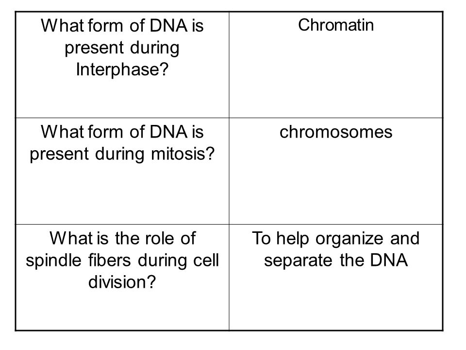 What form of DNA is present during Interphase