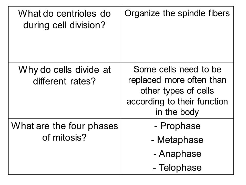 What do centrioles do during cell division