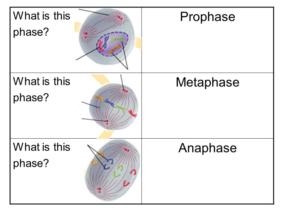 What is this phase Prophase Metaphase Anaphase