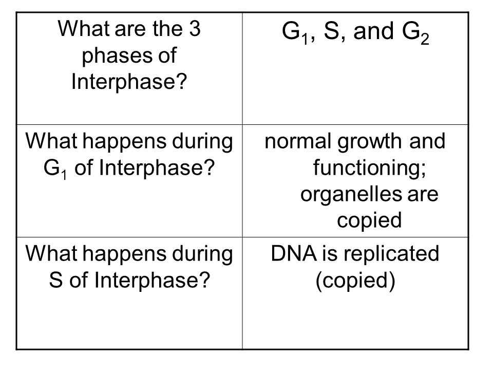 G1, S, and G2 What are the 3 phases of Interphase