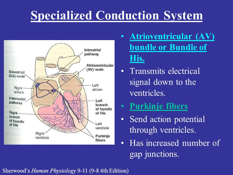 Specialized Conduction System