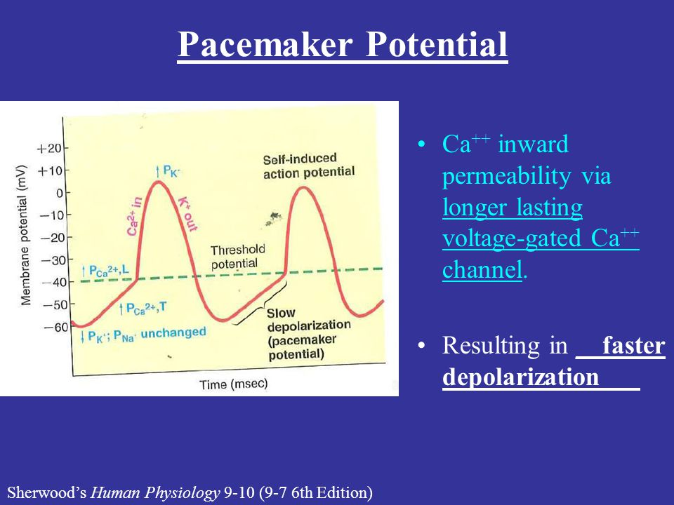 Lecture #16 Handout Pacemaker Potential. Ca++ inward permeability via longer lasting voltage-gated Ca++ channel.