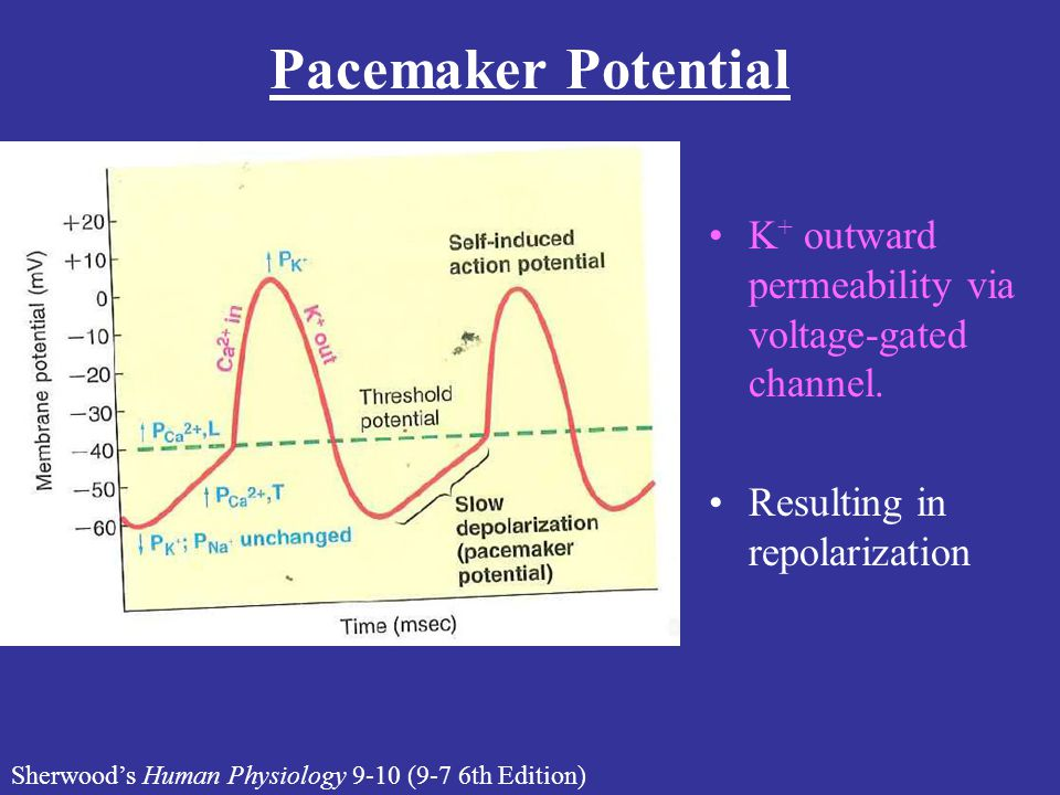 Pacemaker Potential K+ outward permeability via voltage-gated channel.