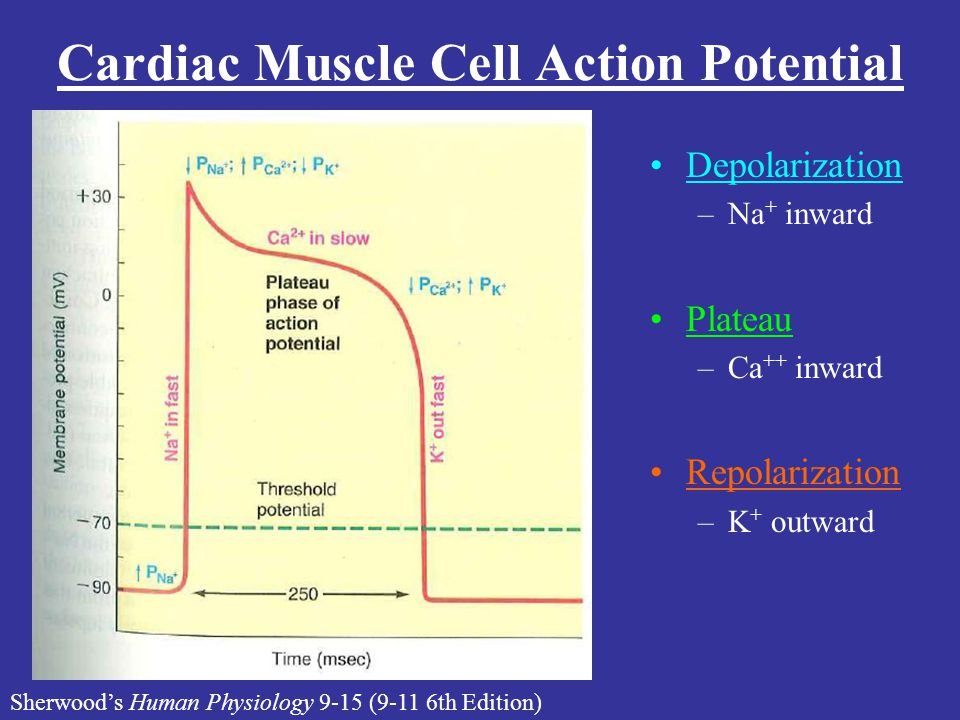 Cardiac Muscle Cell Action Potential