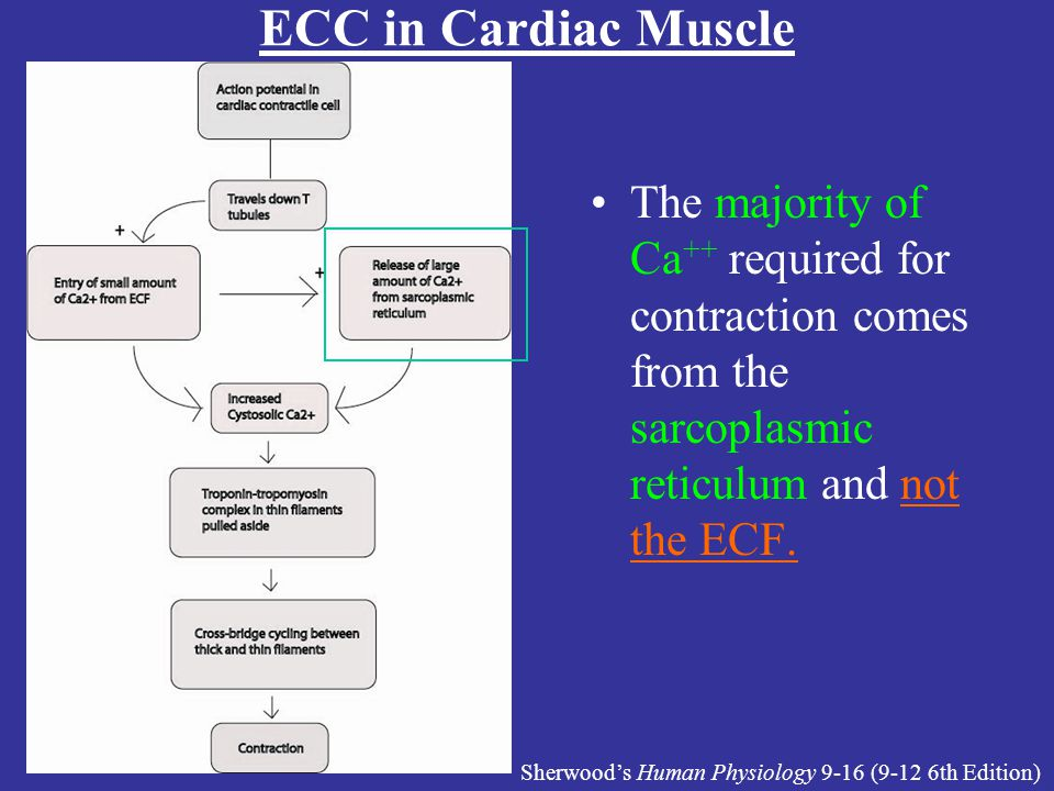 Lecture #16 Handout ECC in Cardiac Muscle. The majority of Ca++ required for contraction comes from the sarcoplasmic reticulum and not the ECF.