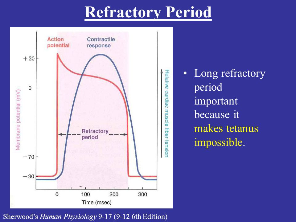 Refractory Period Lecture #16 Handout. Long refractory period important because it makes tetanus impossible.