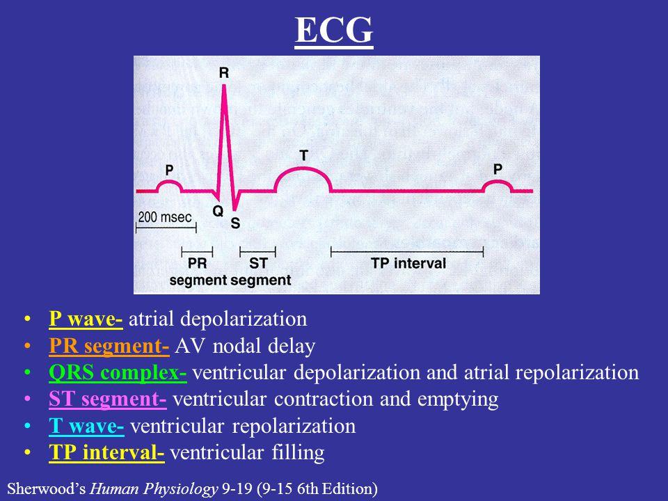 ECG P wave- atrial depolarization PR segment- AV nodal delay