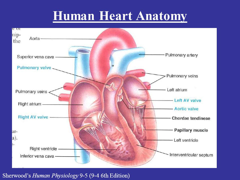 Human Heart Anatomy Sherwood's Human Physiology 9-5 (9-4 6th Edition)