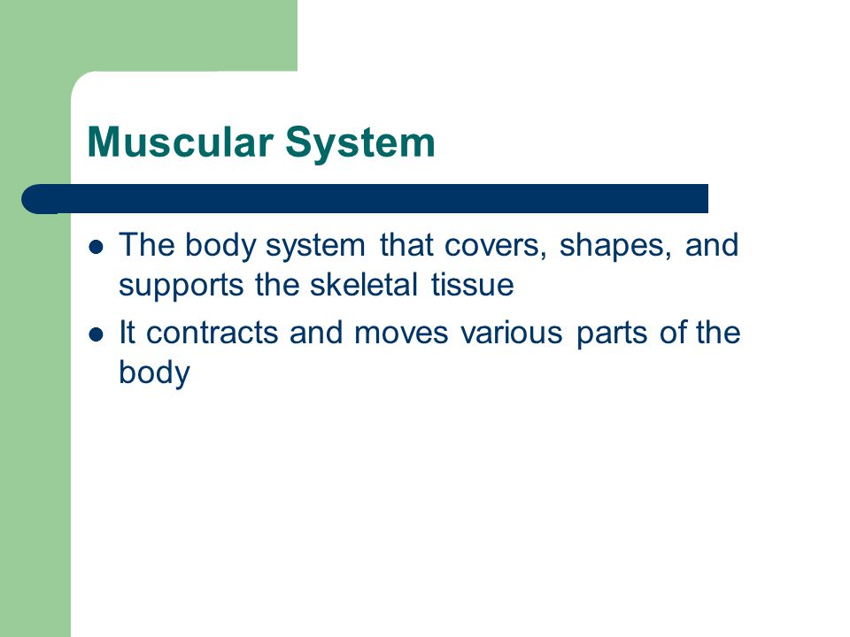 Muscular System The body system that covers, shapes, and supports the skeletal tissue.