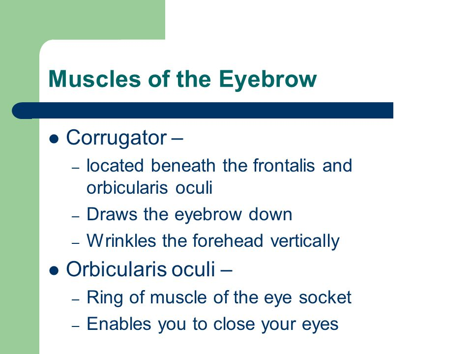 Muscles of the Eyebrow Corrugator – Orbicularis oculi –