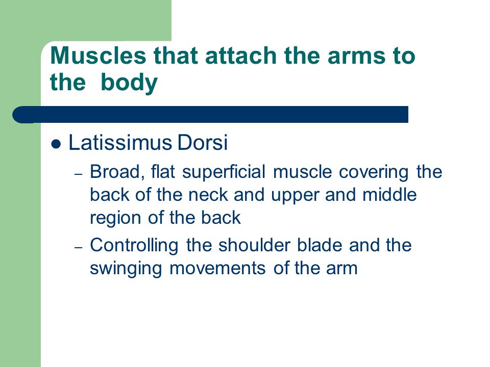 Muscles that attach the arms to the body