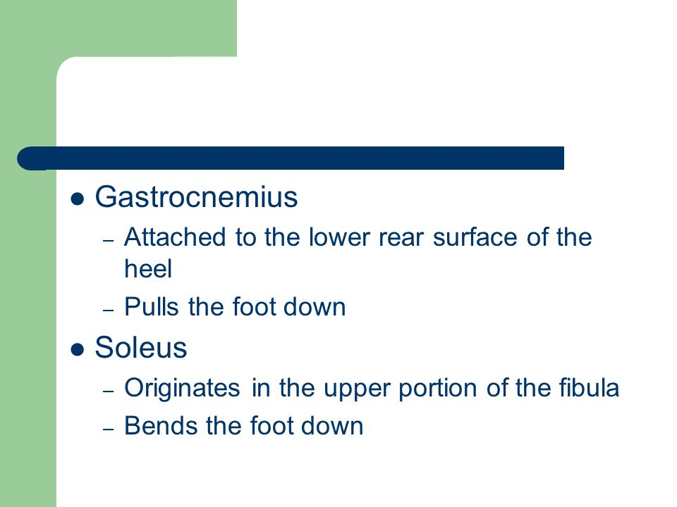 Gastrocnemius Soleus Attached to the lower rear surface of the heel