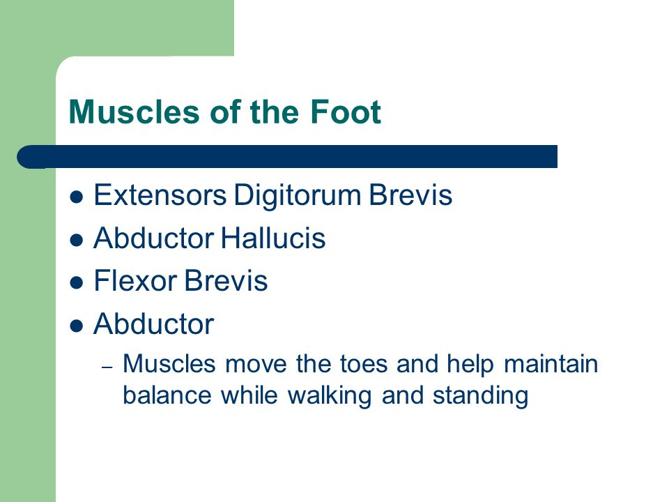 Muscles of the Foot Extensors Digitorum Brevis Abductor Hallucis