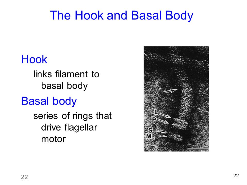 The Hook and Basal Body Hook Basal body links filament to basal body