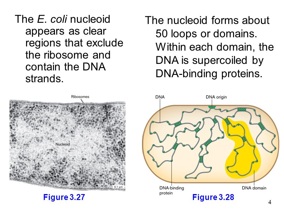 The E. coli nucleoid appears as clear regions that exclude the ribosome and contain the DNA strands.