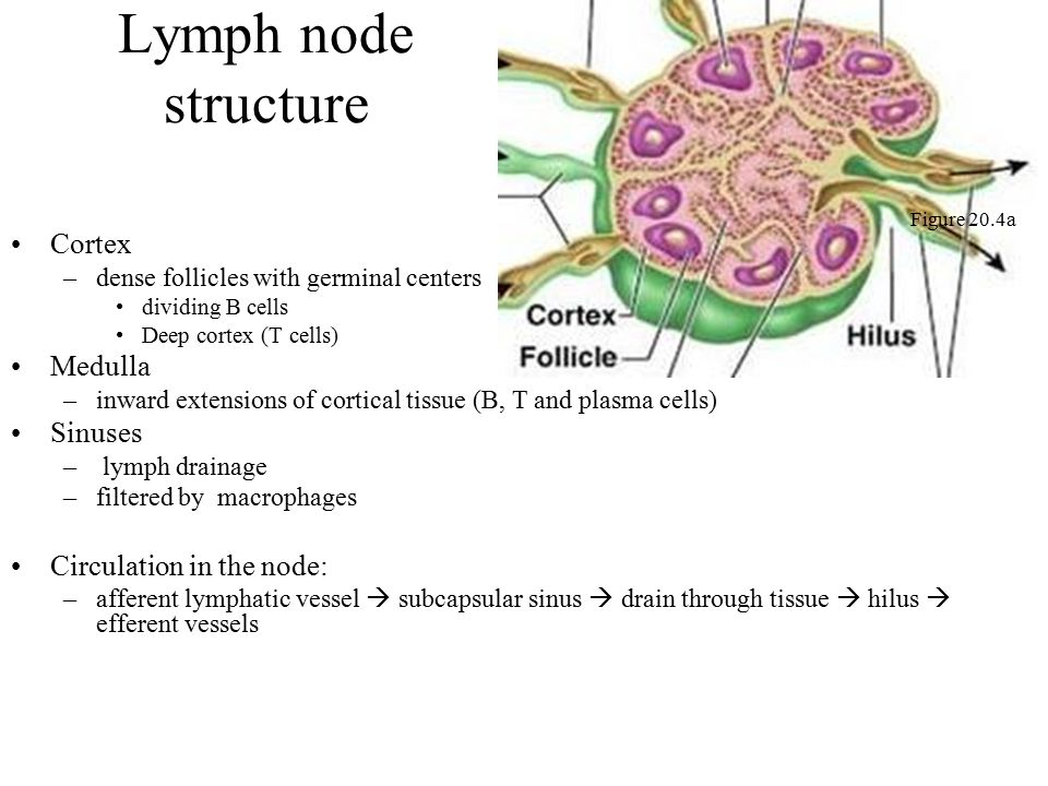 Lymph node structure Cortex Medulla Sinuses Circulation in the node: