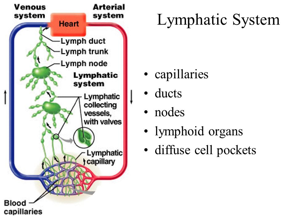 Lymphatic System capillaries ducts nodes lymphoid organs