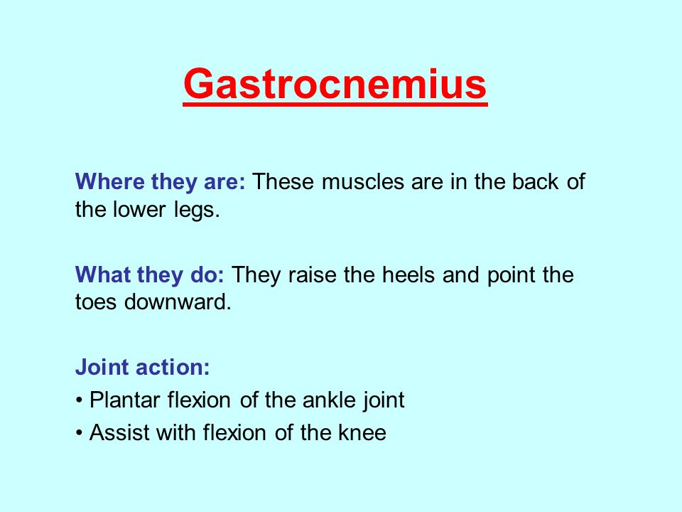 Gastrocnemius Where they are: These muscles are in the back of the lower legs. What they do: They raise the heels and point the toes downward.