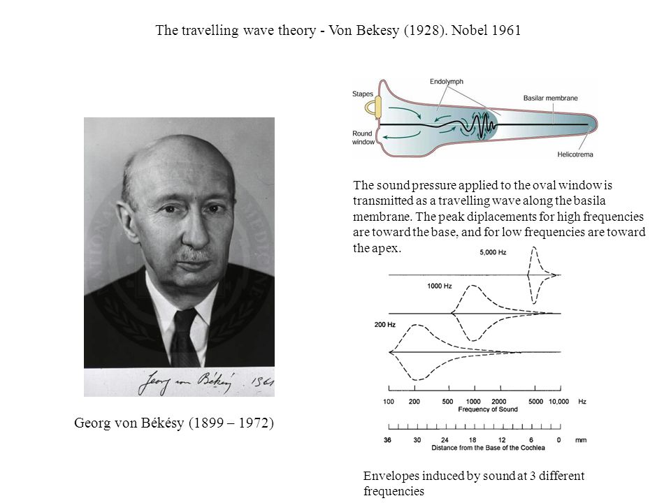 The travelling wave theory - Von Bekesy (1928). Nobel 1961