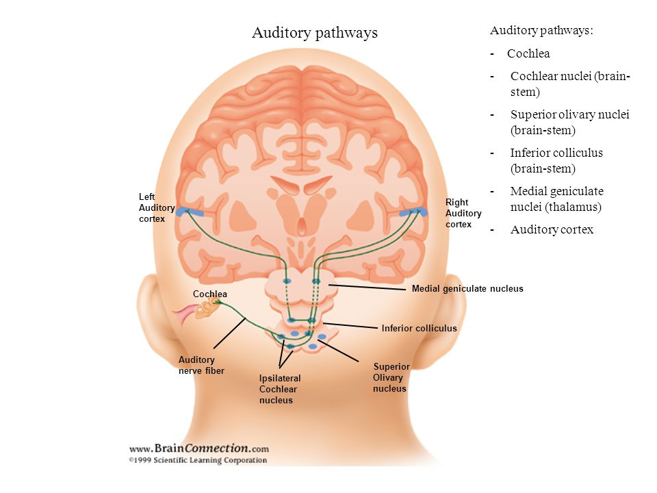 Auditory pathways Auditory pathways: - Cochlea