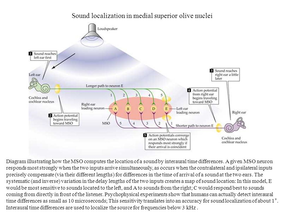 Sound localization in medial superior olive nuclei