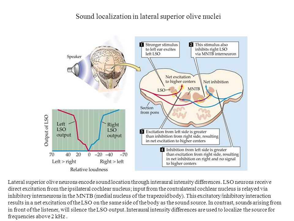 Sound localization in lateral superior olive nuclei