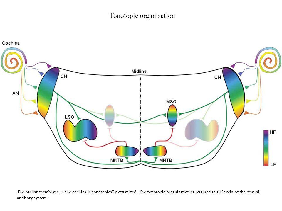 Tonotopic organisation