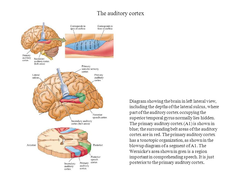 The auditory cortex